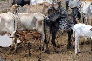 Los rebaños son el bien más preciado por los fulani, porque sin ellos no...