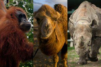 Un orangután y un camello han elegido a los Ravens como campeones del Su...