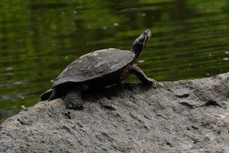 Cientos de tortugas fueron halladas muertas y flotando frente al balnear...