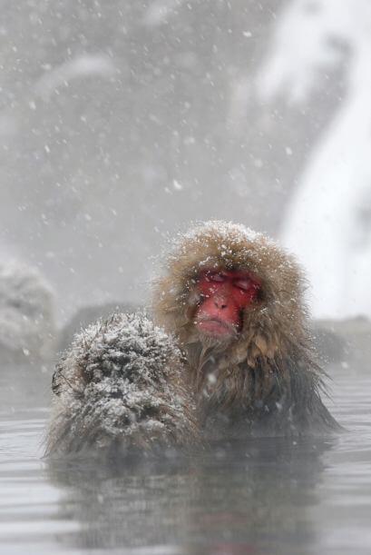 La inteligencia de este otro animal viene desde el frío de Japón: el mon...