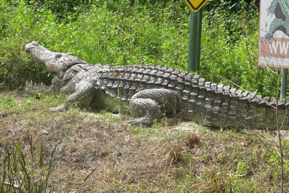 El caimán suele vivir en regiones de América del Sur, pero esta granja e...