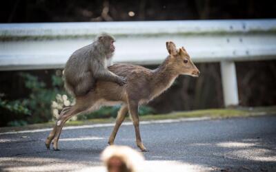 Un macaco japonés monta sexualemente a una cierva sika que lo ace...