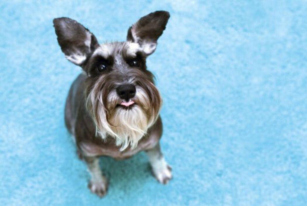 El estudio contó con canes de 14 razas, incluidos chihuahuas, Yorshire t...