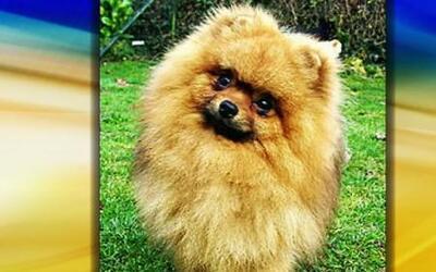Ventajas y desventajas de tener un perro de raza pequeña