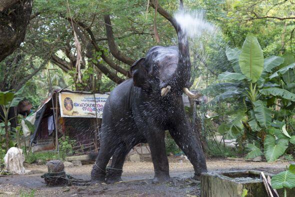 Según explicó un cuidador de los elefantes del templo Guruvayur a la age...