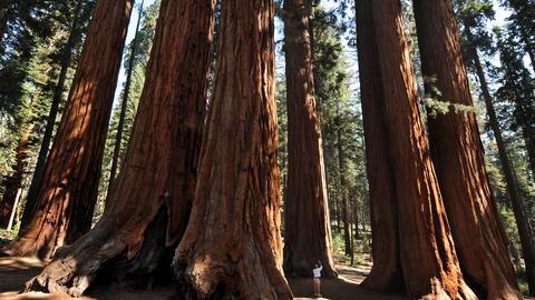 Los gigantes del Bosque Nacional Sequoia.