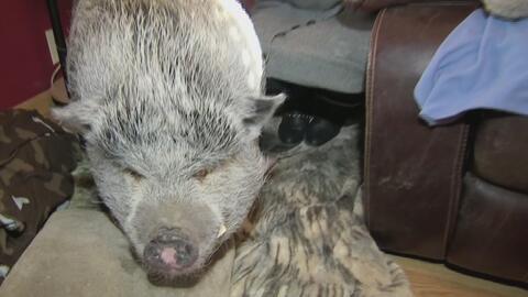 Wilber, el cerdo mascota que es discriminado en Nueva York