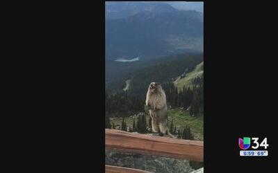 Marmota se vuelve estrella viral