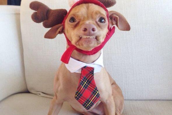 Tuna es un perro de raza mestiza, es el resultado de la cruza de un Chih...