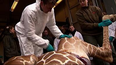 Un zoológico de Copenhague sacrificó a una jirafa en buen estado de salud