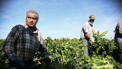 Un grupo de empleados mexicanos trabajan en un campo en Brawley, Califor...