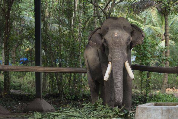 En los campamentos los elefantes son cuidados y queridos y se deben aseg...