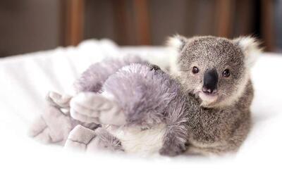 Imogen, una adorable koala