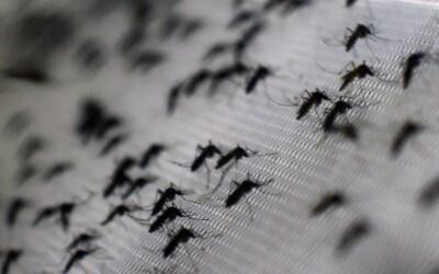 Mosquito Aedes aegypti, transmite dengue, chikunguya y zica