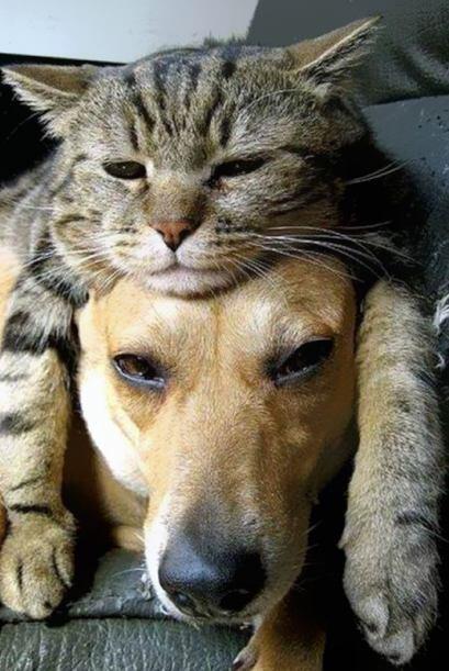 Hasta los perros quieren usar gatos como sombrero. Si eres amante de los...