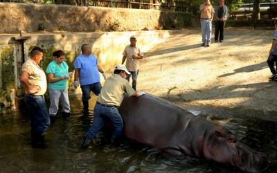 Muere un hipopótamo en El Salvador víctima de ataques violentos en un zo...