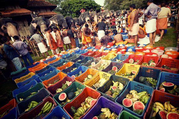 En el festival Hindú cada año participan 52 elefantes que son alimentado...