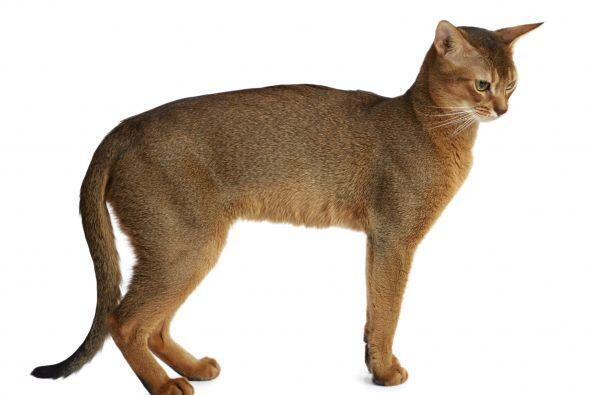 Cola abajo. Contrario a la señal anterior, cuando tu gato se acerca a ti...