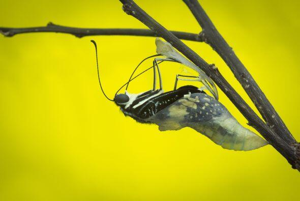 Luego que la metamorfosis se completó, la mariposa puede volar y libar;...
