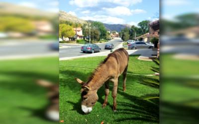 Un burro silvestre pasta en el jardín de una casa de Moreno Valley.