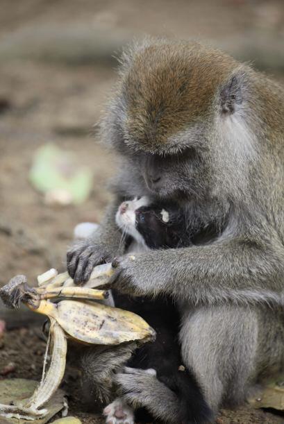 A Kimon también le encanta cargar al bebé como si también fuera un primate.