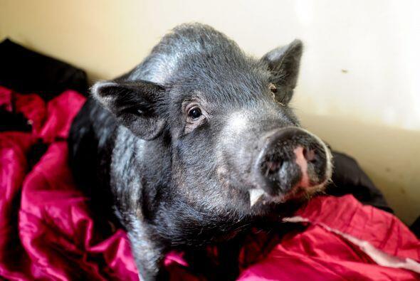Fella se encontraba en una granja de carne cuando fue rescatada por esta...