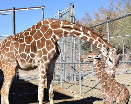 El Zoológico Desierto viviente tiene siete jirafas.