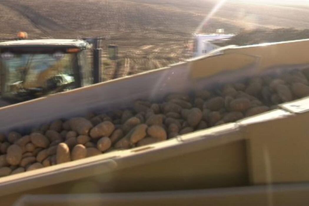 En estas tierras se siembran una de las mejores variedades de papas en...