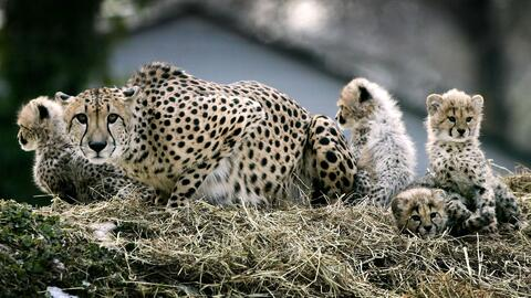 Expertos de Inglaterra advierten el guepardo está en vía de extinción