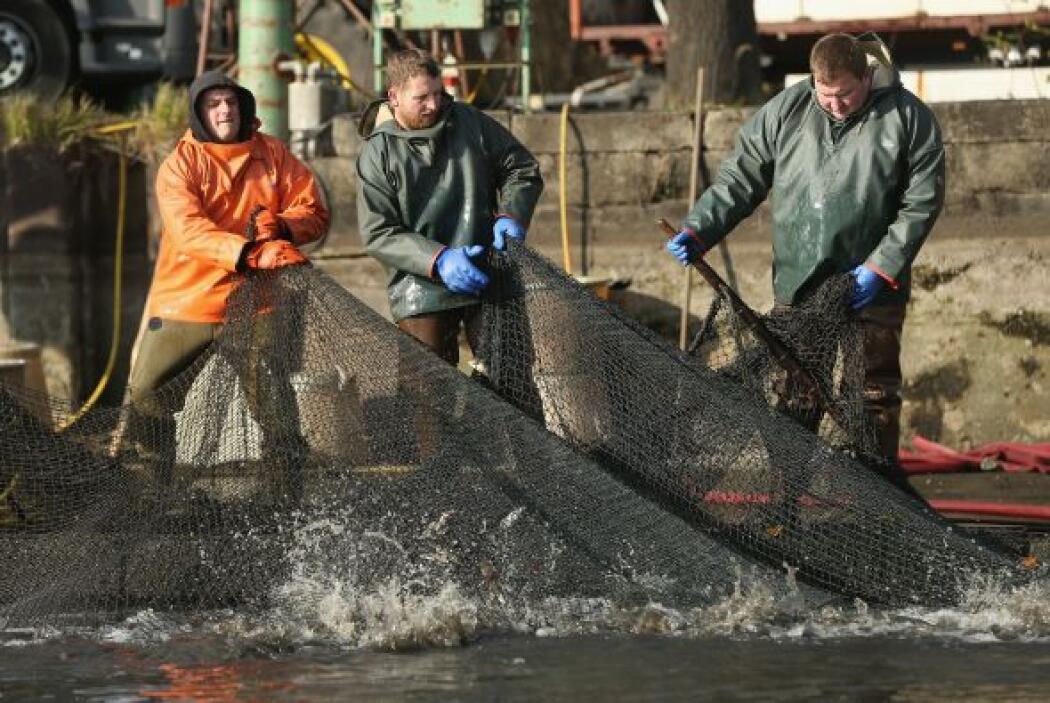 Los pescadores tiran en una red durante la cosecha anual de la carpa en...