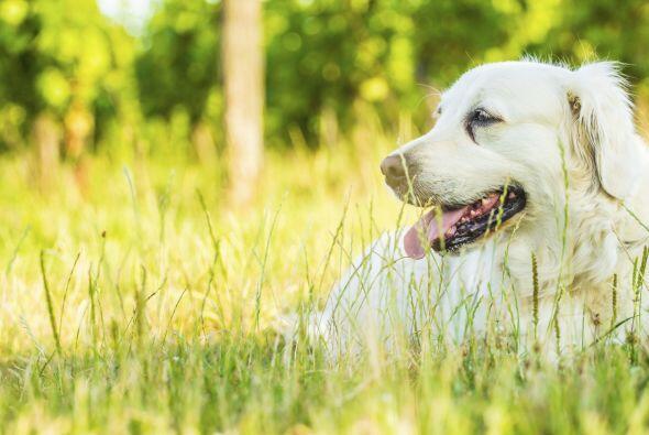 Los perros que vivían en los campos solían lidiar con pastos muy altos y...