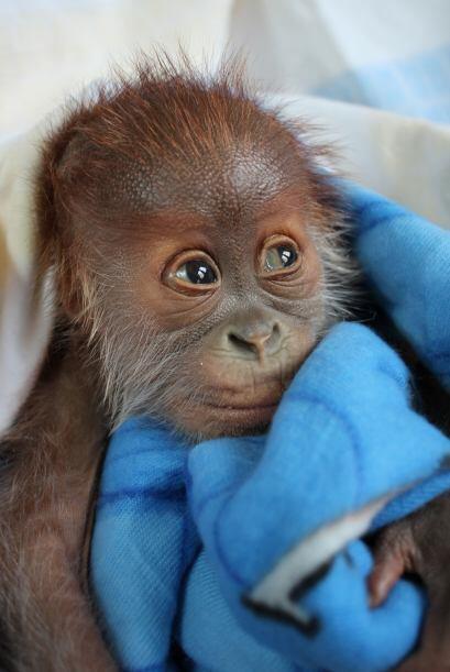 El bebé no puede ser visto por los visitantes del zoológico por lo pront...