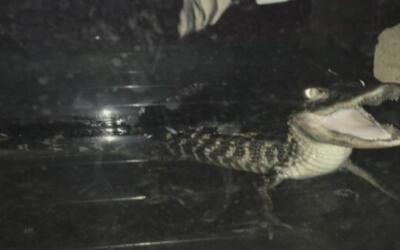 Un caimán fue hallado en un apartamento de Brooklyn durante un allanamiento