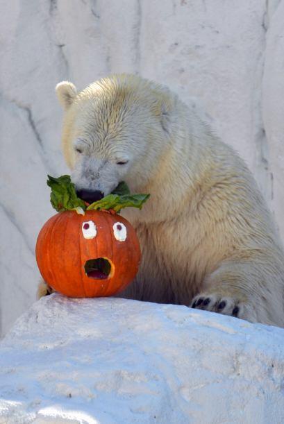 Hasta llegar al ártico donde este oso polar estaba muy divertido.