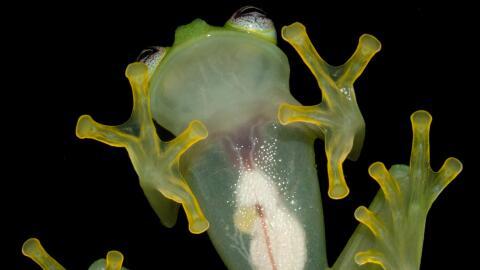 Esta es la vista ventral de una nueva especie de rana de vidrio llamada...