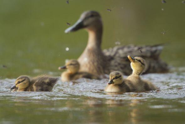 ¡Mamá pato llevó a sus pequeños a darles una...