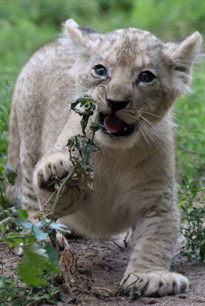 Un pequeño león explora el mundo y nos alegra la mirada con su inocencia.