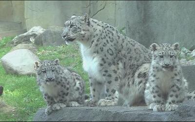 Presentan a leopardas blancas en zoológico Brookfield