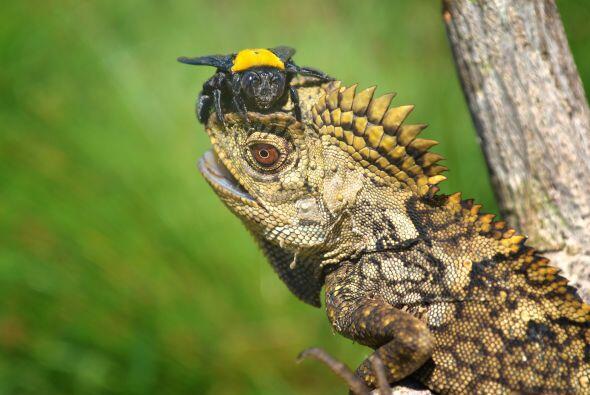 El reptil, acostumbrado a comer insectos, dejó que la abeja se po...