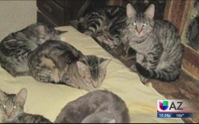 Mujer tenía hacinados a más de 60 gatos