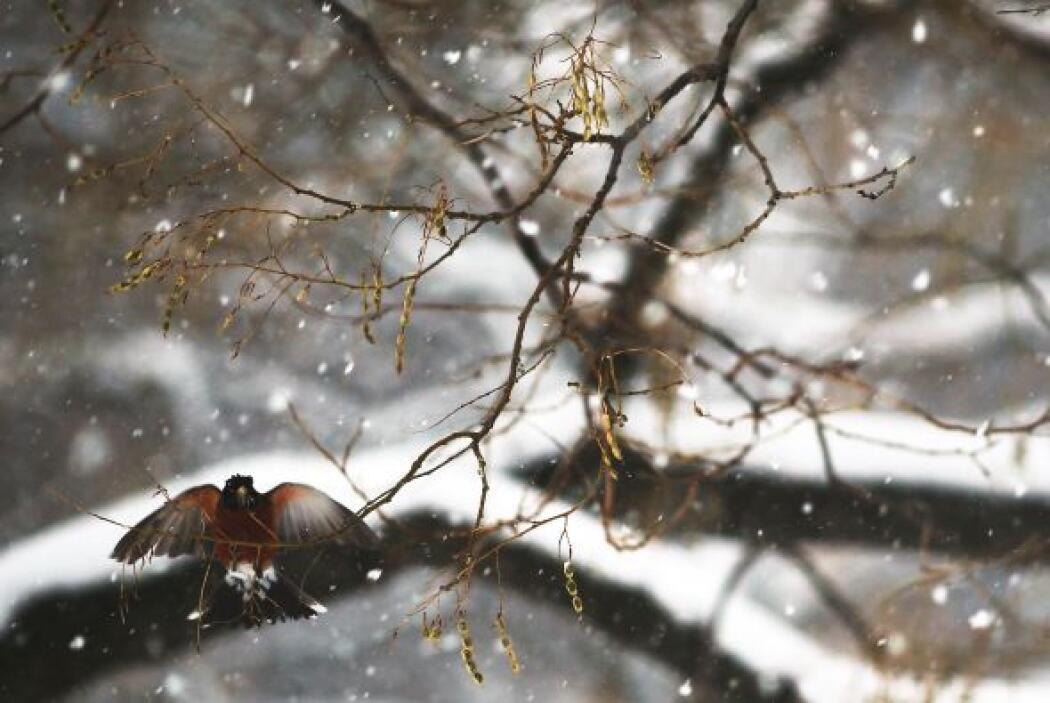 El frío, la nieve y los árboles desnudos impiden la fabricación de nidos.