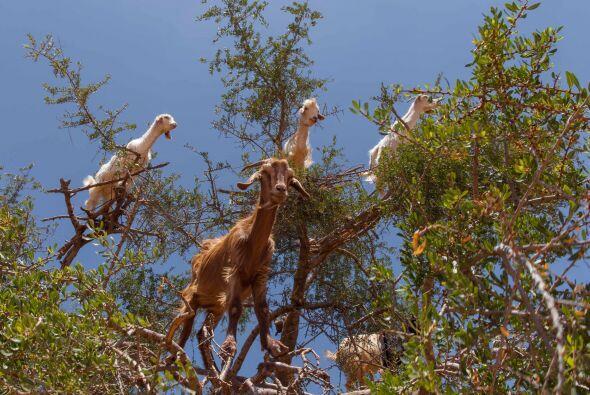 Las patas de estos animales se adaptaron lo suficiente para subir en est...