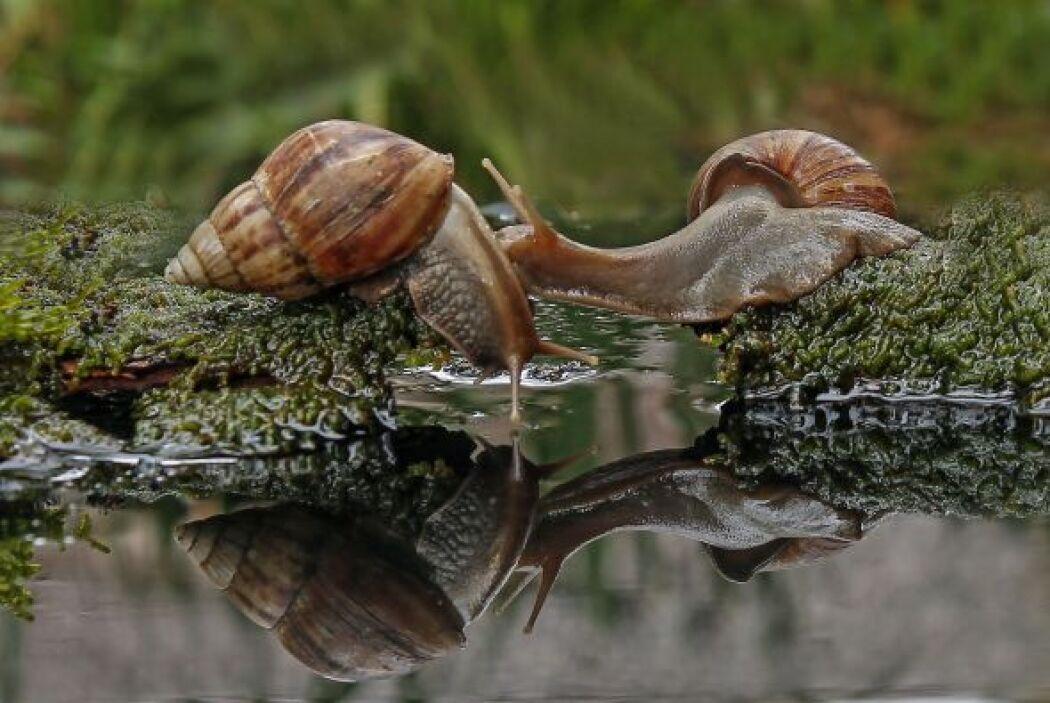 Estos dos caracoles se aman tanto que quisieron besarse.