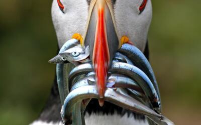 Capturan 106 ejemplares en caza de serpientes pitón en Florida 833_1501_...