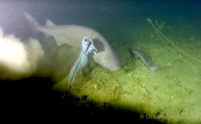 Raro tiburón cañabota es captado en Canadá