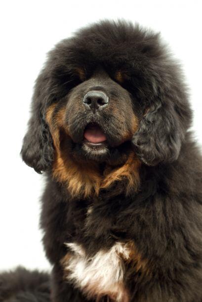 El Dogo del Tíbet es una raza de perros gigantes que se utiliza en esta...