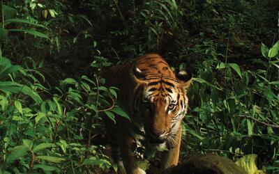 Descubren los casi extintos tigres indochinos en el oriente de Tailandia