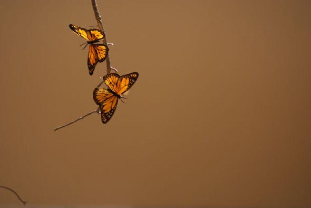Mariposas monarca de México.