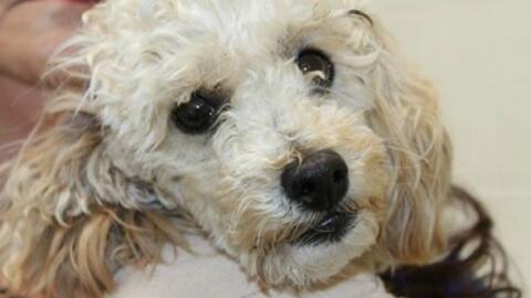 Angel perro que sobrevivió tras ser lanzado de un edificio de cin...