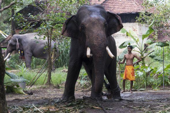 El arte de entrenar a los elefantes se está extinguiendo poco a poco deb...